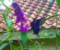ブッドレアと蝶々