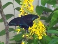 蝶々とリグラリア